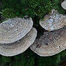 Maze-Gill Fungus by Robert Abraham