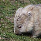 wombat on Maria Island (Tasmania, Aus) by gaylene