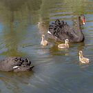 A pair of Black Swan with Four Cygnets by Jim Key