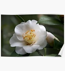 White Camellia II Poster