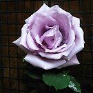 Blue Moon Rose im Schatten von BlueMoonRose