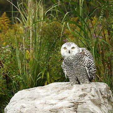 Curious Snowy Owl by locustgirl