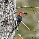 Red Bellie Woodpecker by Irvin Le Blanc