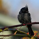 Phainopepla by Nancy Barrett