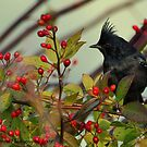 Phainopepla and Rosehips by Nancy Barrett