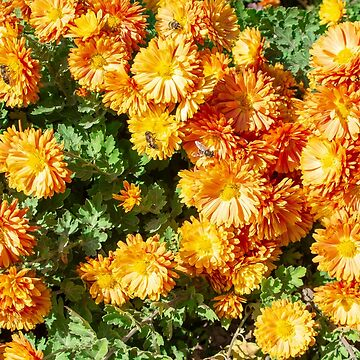 Autumn orange flowers with bees on flowers on a sunny day close-up for use as a background by vladromensky