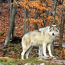 Timber Wolf in the Wild. by vette