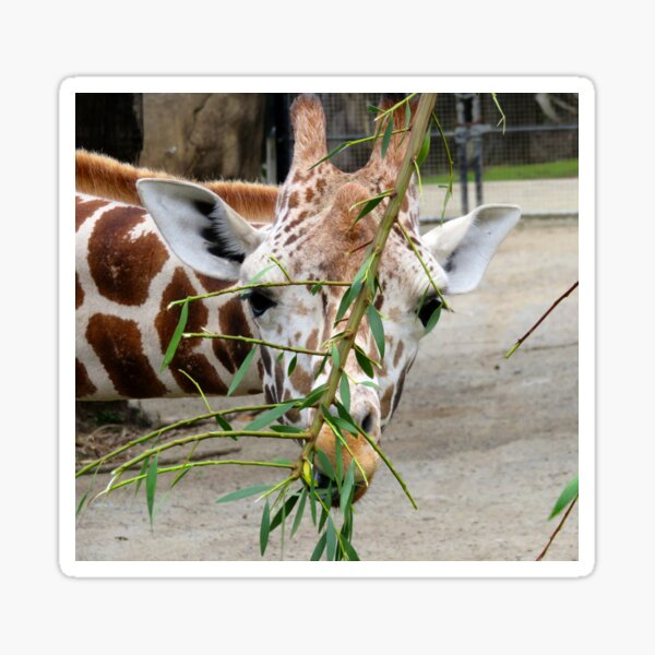 Giraffe Eating  Sticker