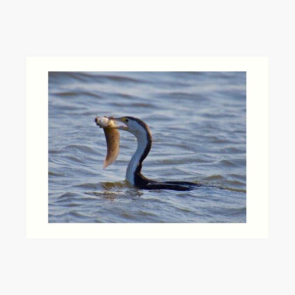 NT ~ MARINE BIRD ~ Pied Cormorant 2EMYRGTV by David Irwin ~ WO Art Print