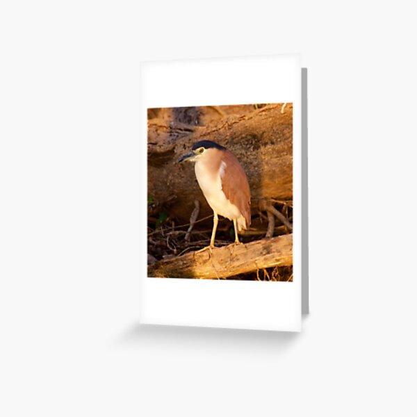 NT ~ WADER ~ Nankeen Night Heron by David Irwin ~ WO Greeting Card