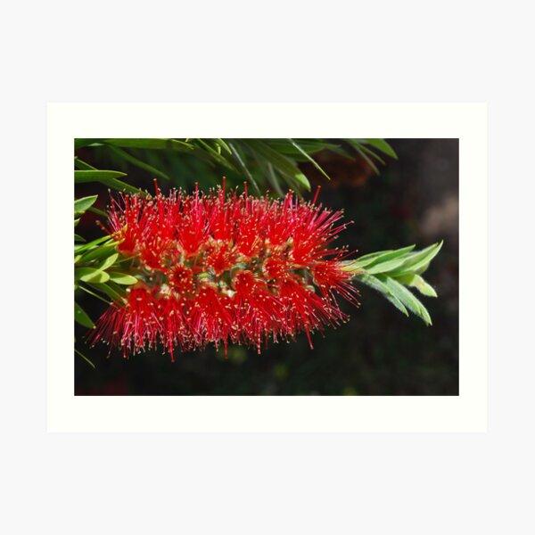 Aussie Red, Fiery red.  Art Print