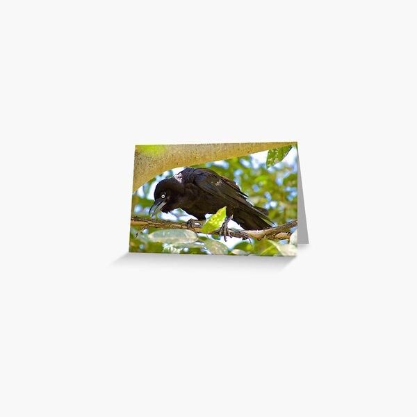 NT ~ RAVEN ~ Torresian Crow syhUmPBC by David Irwin ~ WO Greeting Card