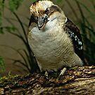 Kookaburra by TeresaB