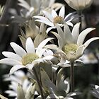 Flock of Flannel Flowers by sienebrowne