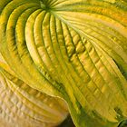 Surface Attention - Hosta by Marilyn Cornwell