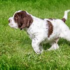 Spinone Puppy on Point by heidiannemorris
