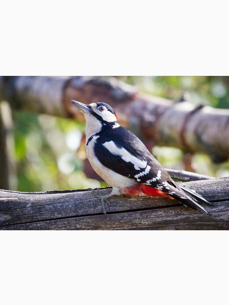 Great Spotted Woodpecker (Dendrocopos major) by robcole