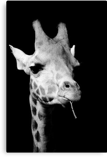 Black and white giraffe by rosscaughers