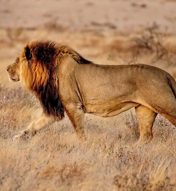 Black-Maned Lion of the Kalahari Walking by Kay Brewer