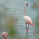 Flamingo - Arusha National Park, Tanzania  by Adrian Paul