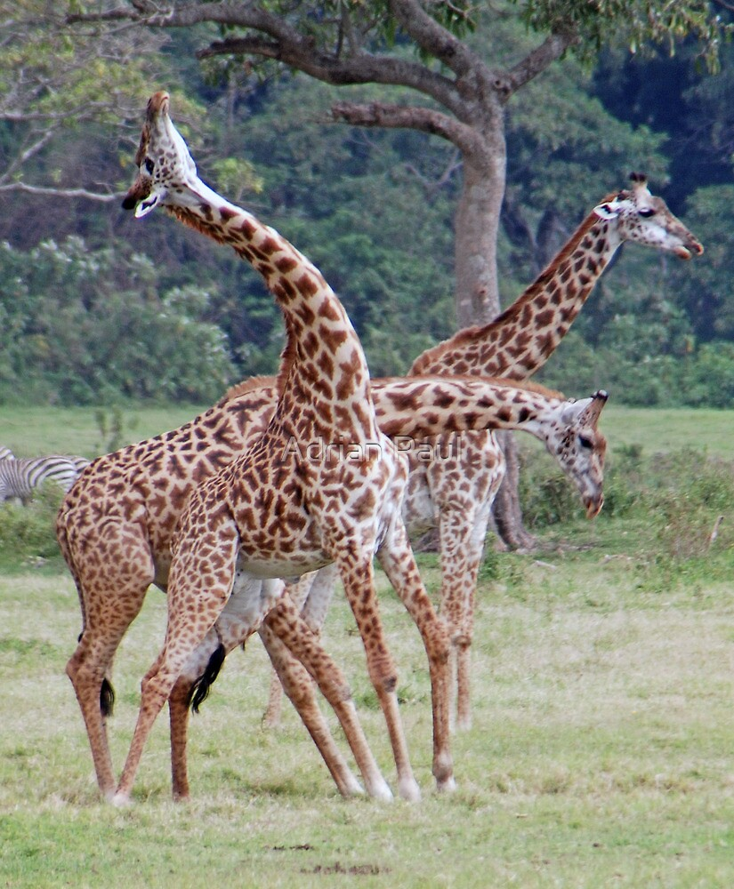 Necking Giraffe Style - Arusha National Park, Tanzania by Adrian Paul