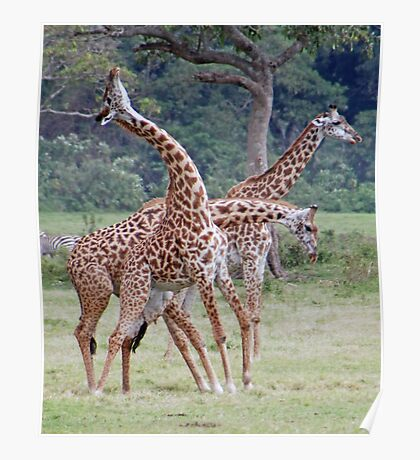 Necking Giraffe Style - Arusha National Park, Tanzania Poster
