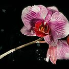 Orchid by Eugenio  Opitz