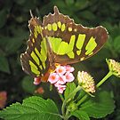 Lime Butterfly by karuna