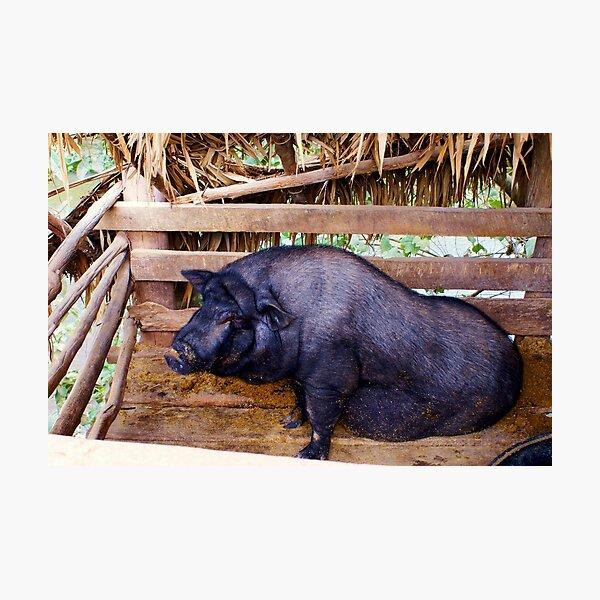 Laos Pig Photographic Print
