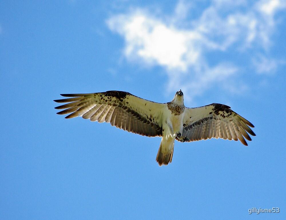 Osprey in flight by gillyisme53