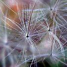 Dandelion by elasita