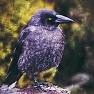 The Lonely Currawong  by Cassie Robinson