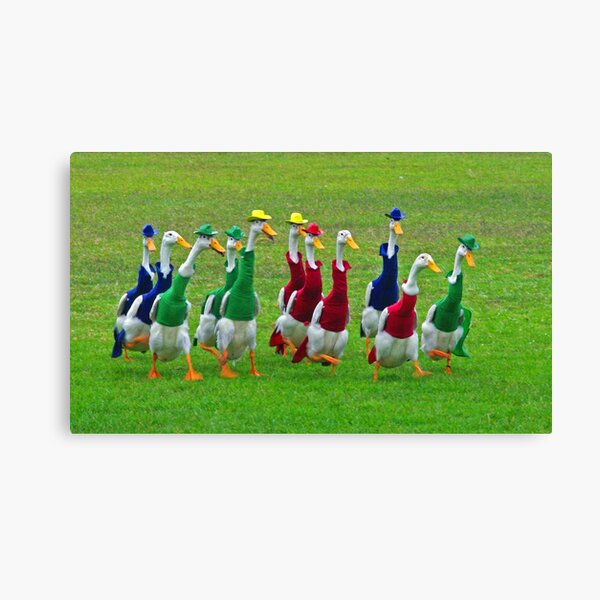 Indian Runner ducks race at dog trials Canvas Print