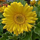 Yellow Gerbera Daisy by James Brotherton