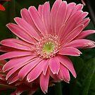 Pink Gerbera Daisy by James Brotherton
