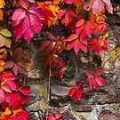 colorful texture of ivy plant on the stone wall by mike-pellinni