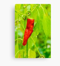 chili pepper grow close up Canvas Print