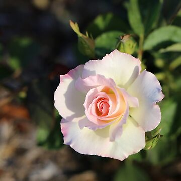 Mixed Roses by STHogan