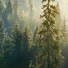 spruce tree in beautiful light by mike-pellinni