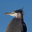 Great Blue Heron in the Wind by TJ Baccari Photography