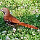 Brown Thrasher by Irvin Le Blanc