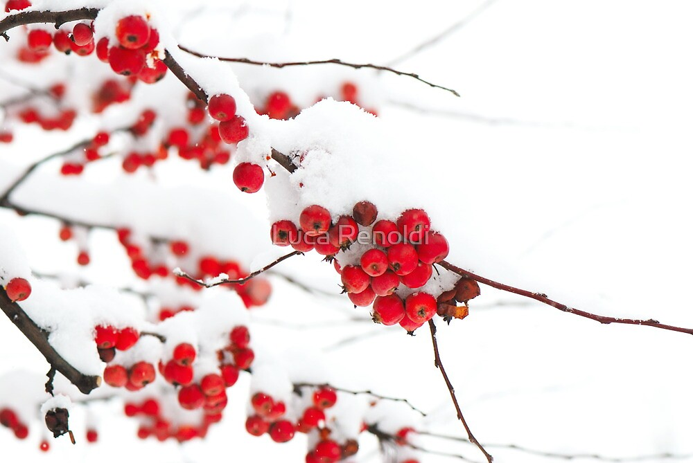berries and snow by Luca Renoldi