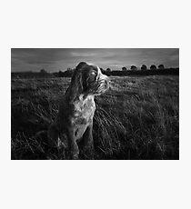 Italian Spinone Puppy Sunset Portrait Photographic Print