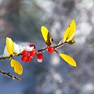Red Winter Holly in the Snow by Ryan McGurl