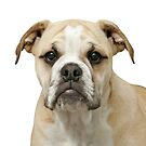 Portrait of an English Bulldog by caqphotography
