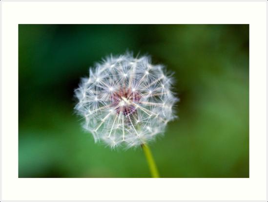 Dandelion clock by mrshutterbug
