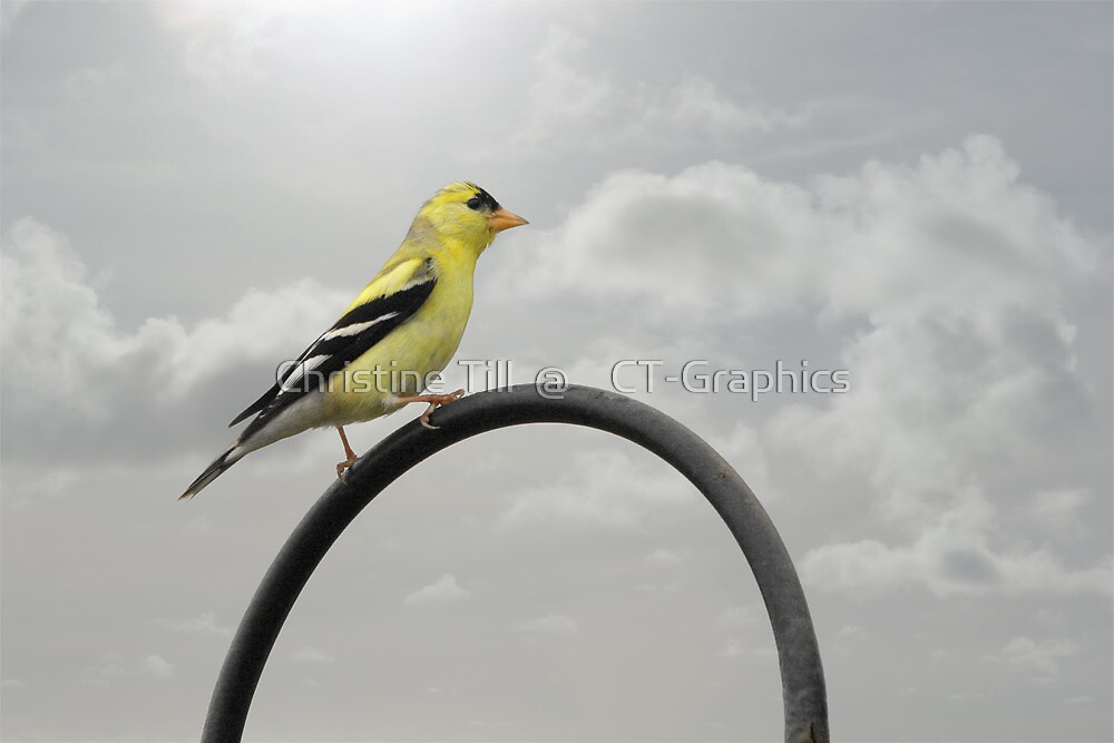 Yellow Finch - A bright spot of color by Christine Till  @    CT-Graphics