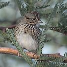 Lincon's Sparrow by tomryan