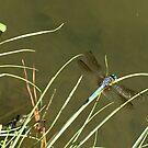 Dragonfly by BeachBumFamily