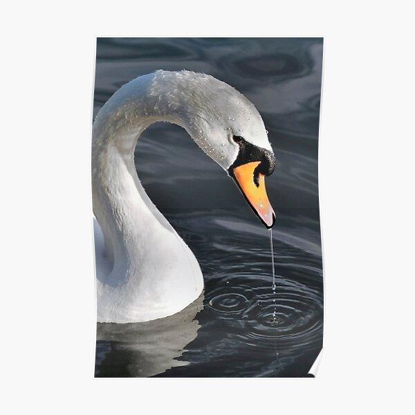 Swan in Rippling Water Poster